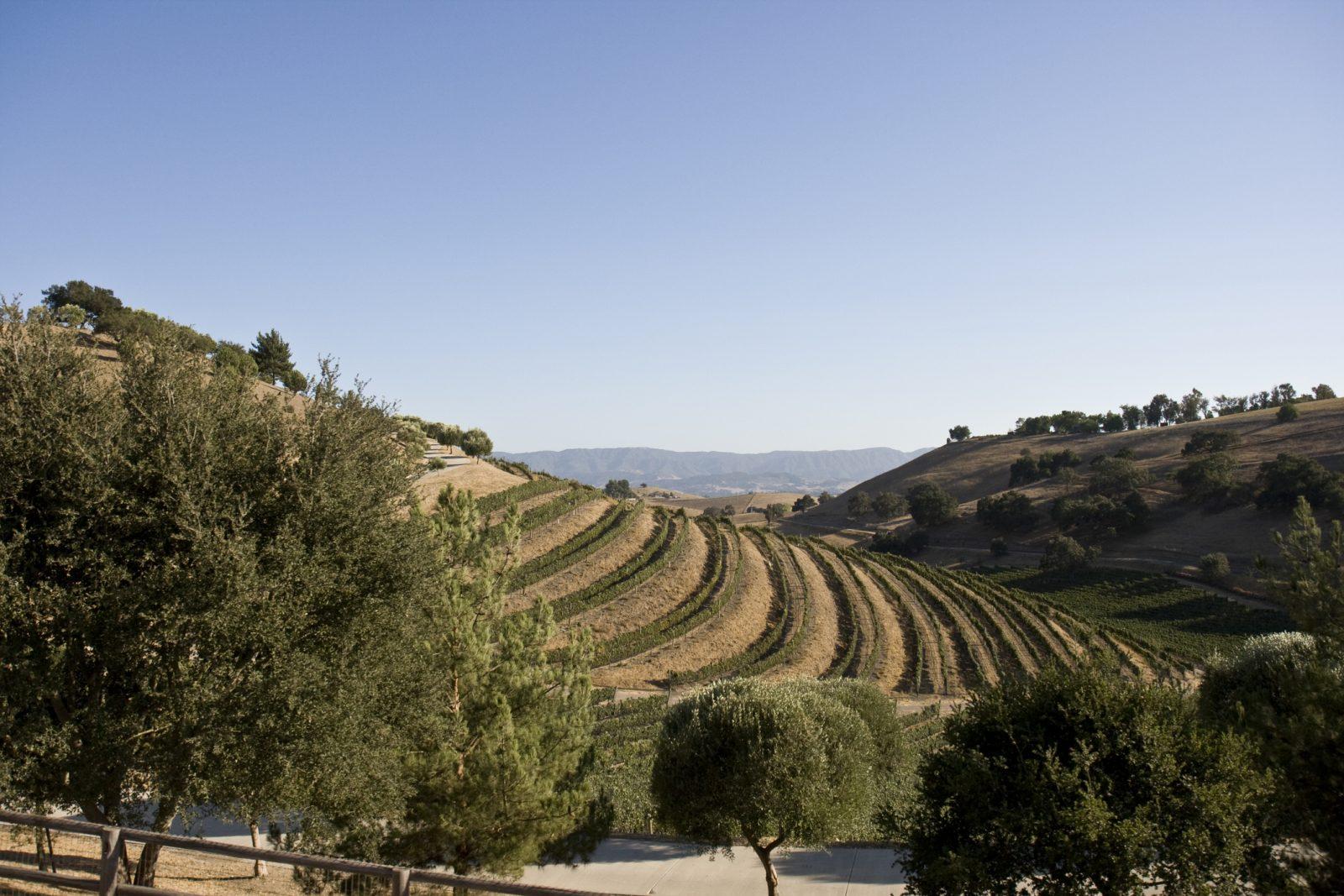 Wine Field in Santa Maria